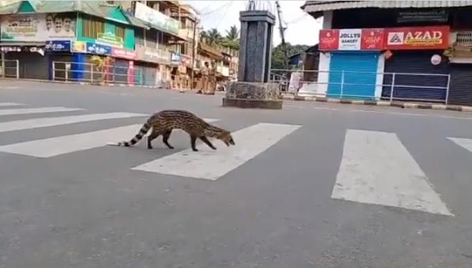 Image about Rare Malabar Civet Resurfaces in India in COVID Shutdown