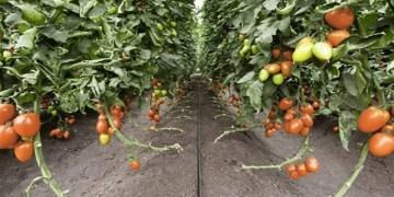 Image about Deadly New Tiranga Virus in Tomato Crops of Maharashtra