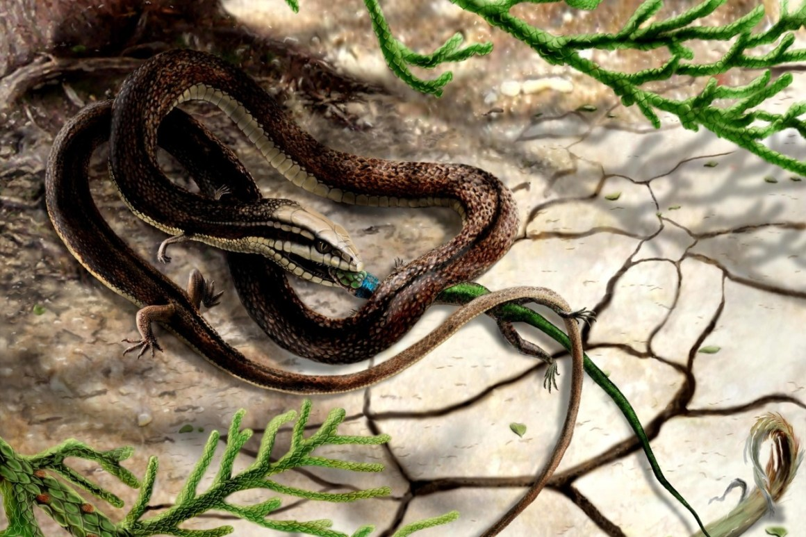 Image of Tetrapodophis catching a lizard