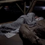 Image about Cheetahs Sleeping with Servant Inside Temple, Amazing Video