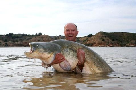 Riesenwels gefischt auf dem Fluss Ebro