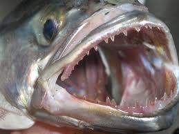 Tallaham mit messerscharfen Zähnen gefürchtet von Badegästen im Mittelmeer