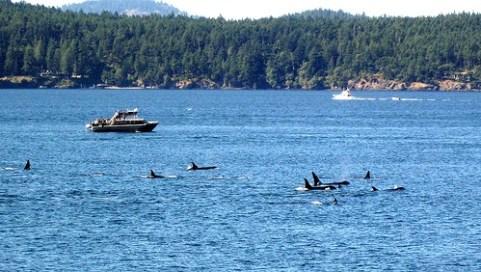 Rudel Orca Wale auf Beutezug