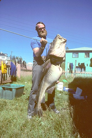 Einen Riesendorsch (Kabeljau) einmal zu angeln, ist ein Traum der Angler