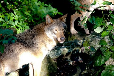 Wildlebende Wölfe ziehen Welpen auch in Niedersachsen groß