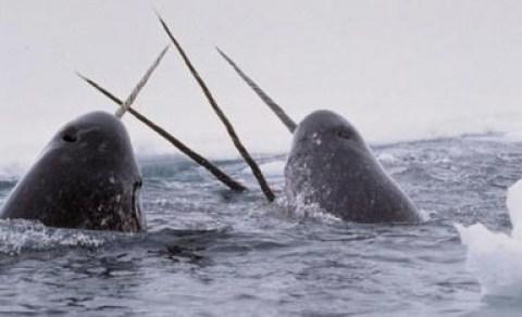 Eine Gruppe von Narwalen
