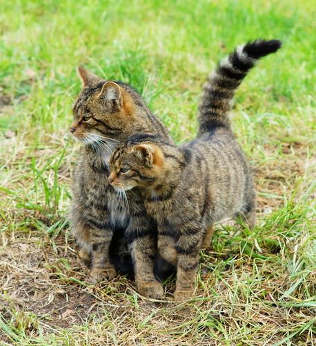 Wildkatzen in der Paarungszeit