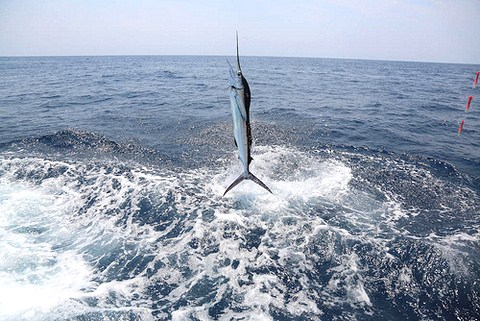 Blue Marlin an der Angelschnur, der einen gewaltigen Sprung aus dem Wasser macht, um den Köder abzuschütteln