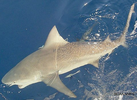 Der Bullenhai eine gefürchtete Haiart der Menschen