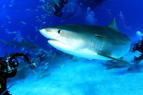 Der Tigerhai ein gefräßiger Raubfisch
