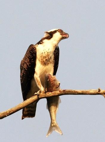 Fischadler verzehrt seine Beute