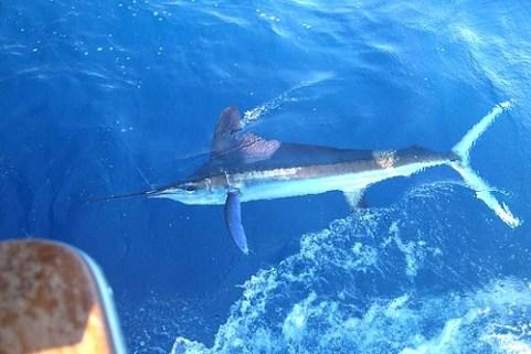 Fischen auf Blue Marlin ein Raubfisch, der Meeresangler durch seine Kampfkraft einiges abverlangt