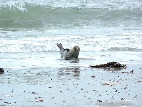 Seehund ruht sich aus und wartet auf die nächste Brandungswelle
