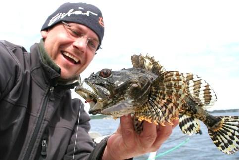 Seeskorpion gefangen in der Ostsee