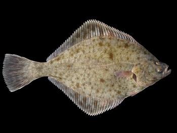 Die Flunder (Platichthys flesus) lebt an Sand- und Schlickküsten in Tiefen bis zu 100 Metern.