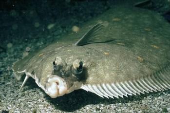 Scholle in der Nordsee auf Jagd nach Futter
