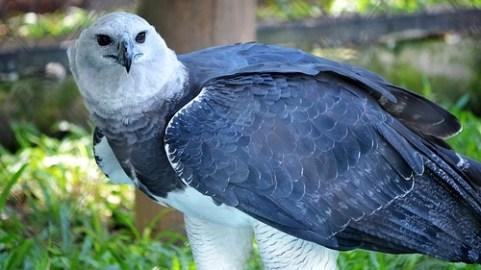 Harpyie (Vogel) eine bedrohte Tierart durch Zerstörung ihrer Lenbensräume