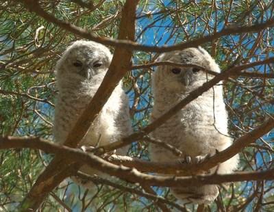 Zwei Waldkauz-Jungtiere haben die Baumhöhle verlassen und warten auf Futter von den Altvögeln