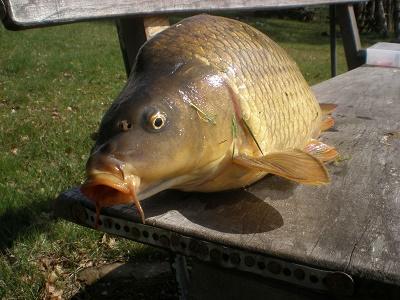 Riesenkarpfen als Zielfisch fangen, dafür gibt es viele Karpfenspezialisten auf der ganzen Welt. Die Karpfenarten, die zu angeln sind: Spiegelkarpfen, Schuppenkarpfen, Marmorkarpfen und Graskarpfen.