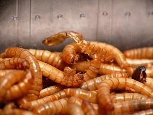 Ein guter Winterköder ist der Mehlwurm in Kombination mit Teig auf Forelle.