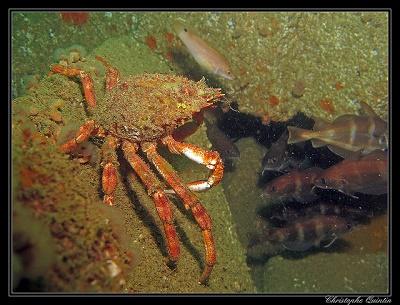 Franzosendorsche und eine Krabbe (Maja brachydactyla)
