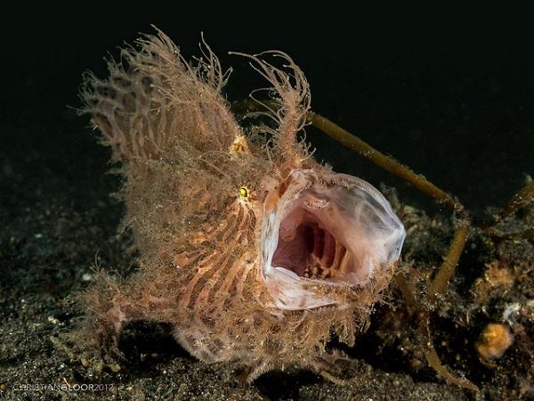 Anglerfisch