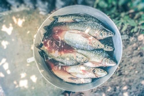 Friedfische