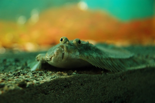 Plattfische Ostsee