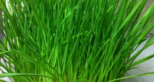 Sprouted Wheatgrass