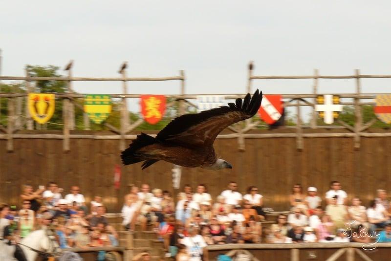 Vautour en vol - Zoo d'Amnéville
