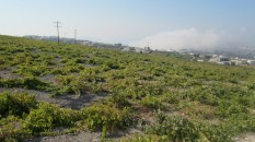 More Greek volcanic vineyards