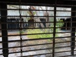 An interesting willow tree hidden in a deserted courtyard