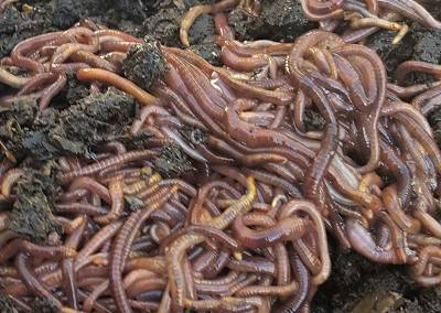 Hobo Gro's Compost Worms
