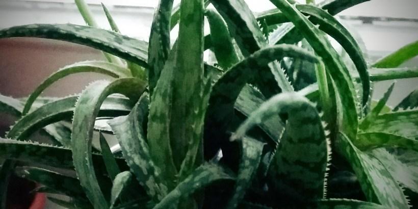 Aloe jurassic chameleon