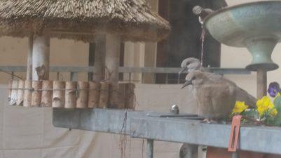 Taubennachwuchs auf Balkongeländer