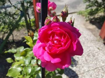 Kletter- Rose
