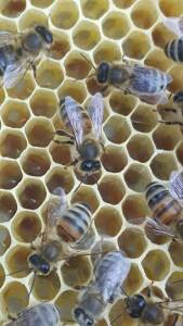 Ammenbienen pflegen die Stifte
