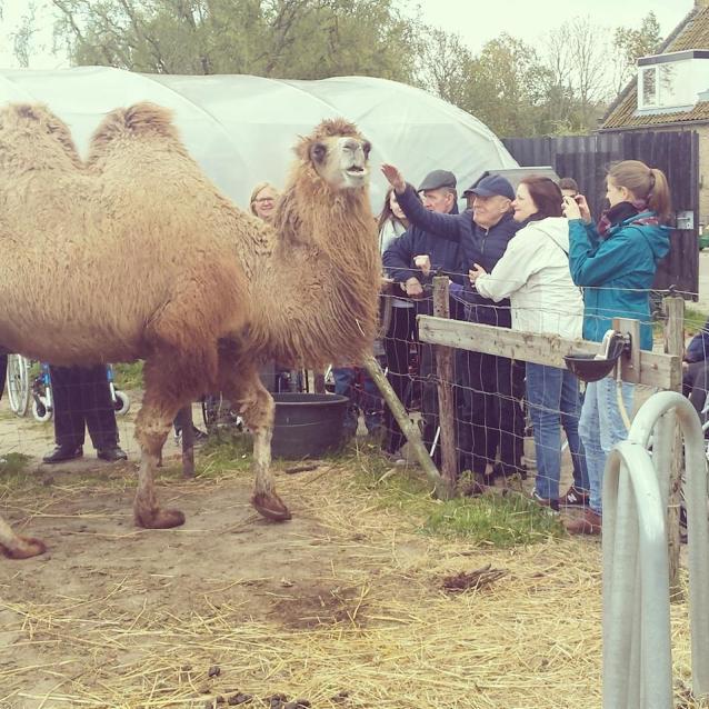 gehandicapten bij kamelen