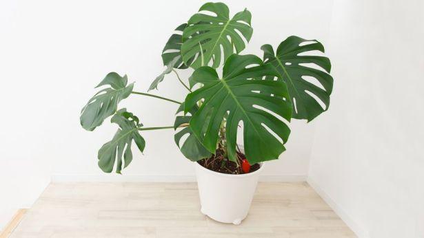 IT Plants: monstera deliciosa