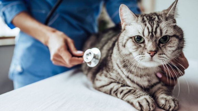 Gatos esterilizados