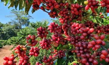 Cafeicultura da Amazônia recebe primeira Denominação de Origem para cafés canéforas sustentáveis do mundo