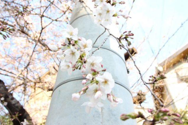 桜 2017.4.3