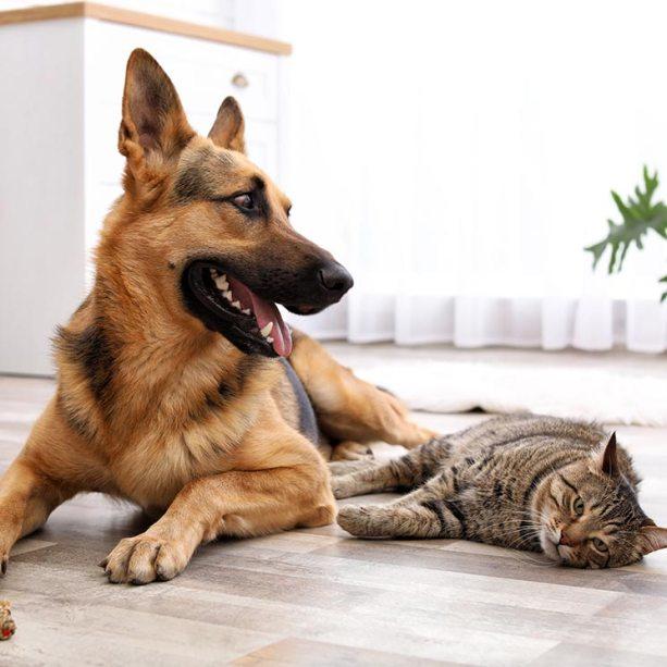 Las razas de perros que se llevan mejor con gatos - Foto 1