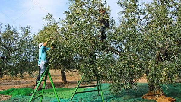 Holar - Blog - Fake Olive Oil vs. Original Olive Oil - 5 Things You Should Know - 4