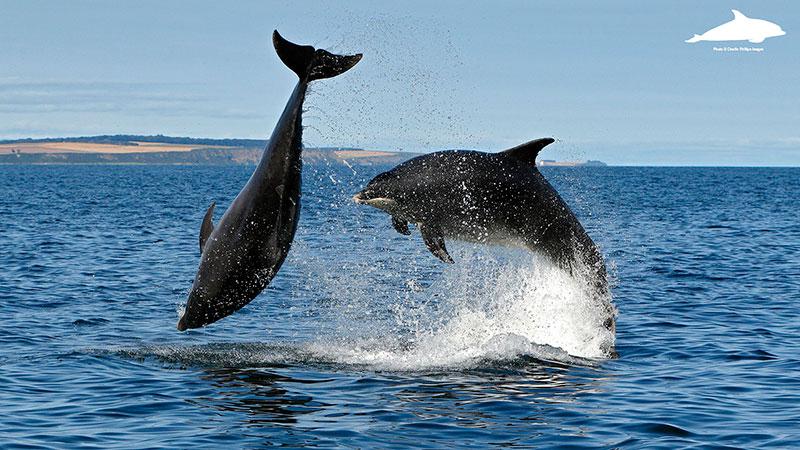 Breaching adult bottlenose dolphins - Charlie Phillips photographer