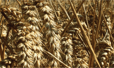Is gluten or gliadin the problem which triggers an autoimmune response?