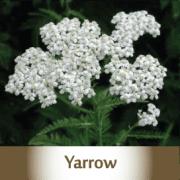 yarrow2