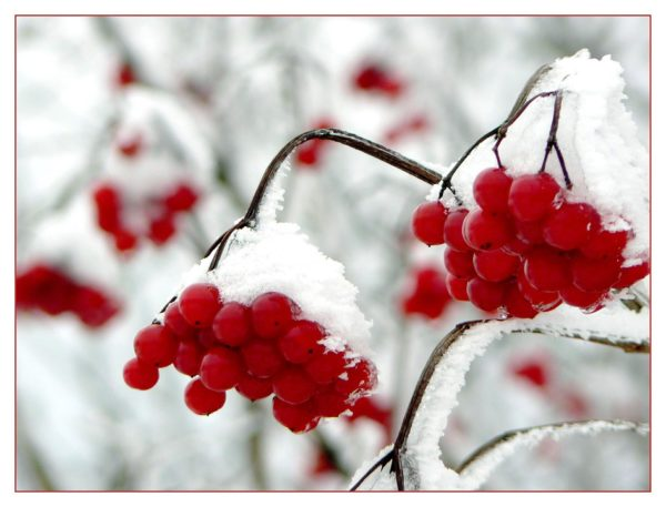 berries with frost e1484427480489 Why do some researchers refer to Alzheimer's as the Type-3 Diabetes?