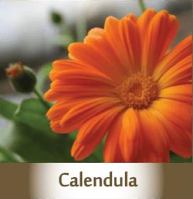 Calendula2