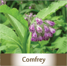 comfrey2